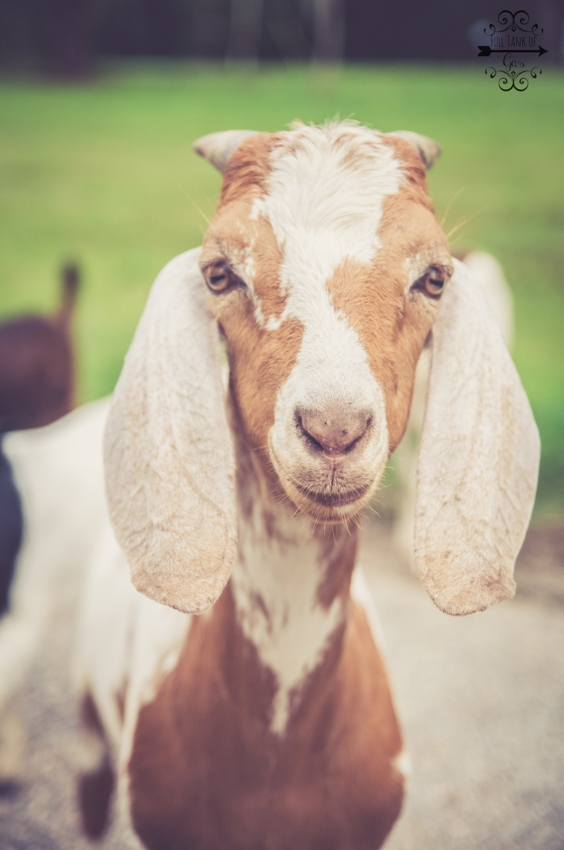 This is the leader of the goats! Any one interested in giving them their own show need to contact his people!